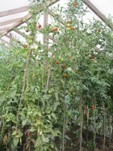 The biggest tomato plants I have ever seen!